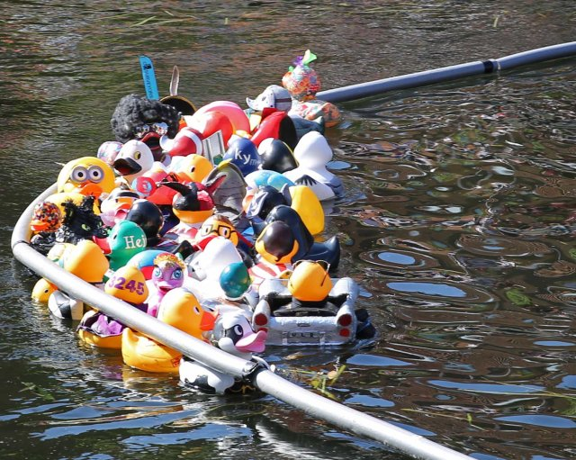 ducks being towed to the finish line