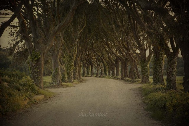 holkham tree avenue
